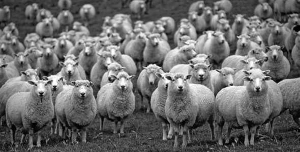 Овце су за шишање